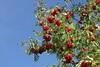 Pihlakad (Jaan Keinaste) Tags: pentax k3 pentaxk3 eesti estonia loodus nature pihlakas punane red sorbus
