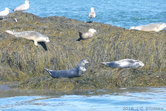 Harbor Seals (jaybirding) Tags: animal bird leicavlux114 maine me nature outdoor stormer campobelloisland nb ca