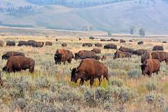 Bison Herd (NaturalLight) Tags: bison nationalmammal grandteton nationalpark herd grazing wyoming