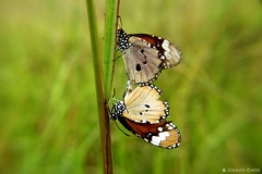 Mating butterflies, original, contrast (JayBaeta) Tags: sky landscape flower plant butterfly flora fauna insect green clay quarry reclamation restoration rehabilitation research harsh conservation sap measurement data collection soil sampling root leaf qla2016 quarrylifeaward
