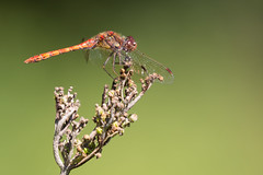 0J9A9089 (wearedave) Tags: brandonmarsh dragonfly