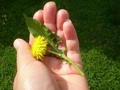 In the eye of the beholder (candiceshenefelt) Tags: flower dandelion dientedelen yellowflower hand