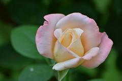 Rose (dfromonteil) Tags: rose fleur flower pink vert green macro bokeh jardin garden nature blossom