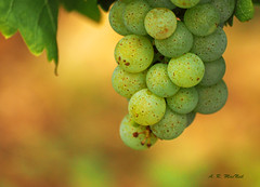 White Wine Grapes 1 - Okanagan, British Columbia (Barra1man (Back From Vacation)) Tags: grapes whitewinegrapes winegrapes wine vineyard vines fruit green whitewinegrapes1 okanaganvalley okanagan britishcolumbia canada olympus olympusem1 winetour summer lens300mm iso640 f5611000 ripe
