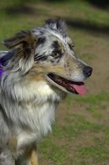 Panting (swong95765) Tags: dog panting pant cute canine animal pet