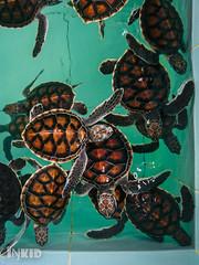 DSC_0894 (inkid) Tags: pantairemis perak malaysia turtles reptiles sony xperia z5 premium dual baby