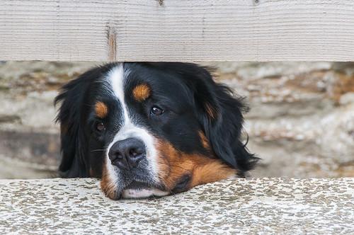 1st Dawn Watson Guard Dog