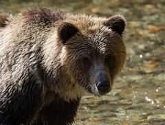 Close Encounter of the Bear Kind (T0nyJ0yce) Tags: wild grizzlybear backlit animals grizzly bears ursusarctoshorribilis westcoast salmonrun wildlife britishcolumbia canon7dmarkii tamron150600 salmon fishing