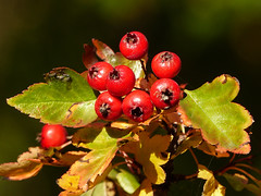 03 Autumn  berries (annkelliott) Tags: alberta canada eofcalgary marslandbasin lynngratzsacreage garden nature tree shrub fruit berry berries red leaves foliage macro closeup bokeh outdoor fall autumn 25september2016 fz200 fz2004 annkelliott anneelliott