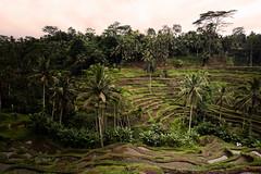 bali - tegalalang (peo pea) Tags: bali indonesia rice risaie terrazza tegalalang landscape canon