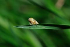 Cicadella Viridis (ironmember) Tags: allaperto macro natura insetto cicadella cicadellaviridis primopiano filoderba erba foglie azzurrina bokeh sfocato pdc profonditdicampo microscopica 3mm 85mm micronikkor85mm nikond90 manolibera conflash sb800 triopo982ii 1atendina ittl