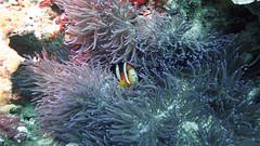 G16_160918 00057 2 (puikincz) Tags: bali nusapendia underwater diving secretgarden