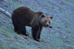 Grizzly Bear (Hammerchewer) Tags: grizzlybear sow wildlife outdoor yellowstone