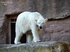 Vera - Charlotte - Eisbären - Tiergarten Nürnberg (ElaNuernberg) Tags: eisbärvera eisbärcharlottealiaslottchen tiergartennürnberg nurembergzoo zoo eisbär polarbear orsopolare ourspolaire ursusmaritimus jääkaru niedźwiedźpolarny zooanimals zootiere