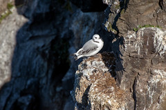 The Bird _4952 (hkoons) Tags: latrabjargcliffs westfiords westfjords iceland latrabjarg birds cliff feathers fiord fjord flight fly island nest nests north peninsula seabirds wings
