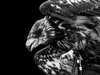 European Eagle B/W