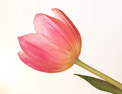 Beauty (Photo Amy) Tags: pink flower green yellow petals spring stem tulip hcs ef50mm18 canoneos50d