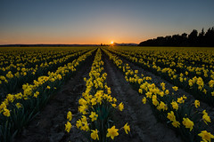 A Glorious End To The Day (NW Vagabond) Tags: flowers sunset festival dusk farm rows valley daffodil tulip fields skagit daffodils 2013