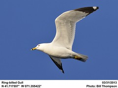 Ring-billed Gull (Bill.Thompson) Tags: ri birds ringbilledgull larusdelawarensis
