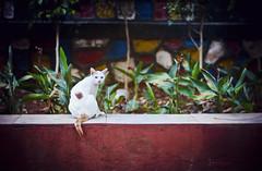 [016] - heterochromia (jathdreams) Tags: park white nature animal cat vintage pose 50mm model nikon bokeh 365 vignette heterochromia 50mmf14d project365 nikond5100