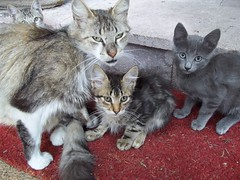 Romanito (patriciamura) Tags: chile pet animalitos animal animals cat chat gato felino animales katze catz mascota mascotas katz gatito copiapo minino micifuz