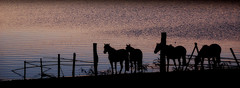 Quatro pingos... (Eduardo Amorim) Tags: sunset brazil horses horse southamerica field gua brasil criollo caballo cheval atardecer caballos agua tramonto sonnenuntergang dam prdosol barragem campo cavalos pelotas damm pferde cavalli cavallo cavalo pferd riograndedosul barrage pampa poniente champ anoitecer coucherdesoleil aguada campanha brsil chevaux entardecer crepsculo  amricadosul aude poente diga amriquedusud   sudamrica suramrica amricadelsur sdamerika crioulo caballoscriollos criollos  tropillas costadoce americadelsud tropilhas tropilla crioulos cavalocrioulo americameridionale caballocriollo auffangen eduardoamorim cavaloscrioulos natureselegantshots iayayam yamaiay