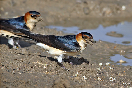 Red Rumped Swallows