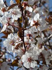 "Sheila says these are ""Pear blossoms"". OK, then ;) (Tulay Emekli) Tags: spring blossoms pearblossoms ankara oran tomurcuk panasonicdmctz20 eriktomurcuklar"
