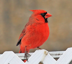 Male Cardinal (pmarella) Tags: bird pmarella malecardinal jerseycitynj backyardnature ef100400mmf4556lisusm riverviewpkproductions eos7d