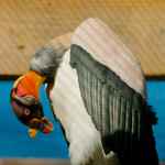 King Vulture WLD_6314 thumbnail