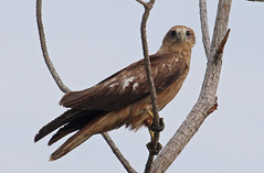 Th13_05634a (jerryoldenettel) Tags: kite bird thailand raptor accipitridae brahminykite haliasturindus haliastur 2013 accipitriformes laemphakbia