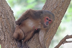 Th13_06018a (jerryoldenettel) Tags: thailand mammal monkey primate primates macaque macaca 2013 cercopithecidae stumptailedmacaque macacaarctoides bangtaboon bangtaboonmarshes