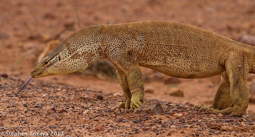 Yellow-spotted Monitor (Varanus panoptes)