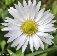 DaisyOne_13 (casirfm) Tags: flowers macro primavera nokia spring daisy aprile fiore margherita 2013 casirfm pureview lumia920