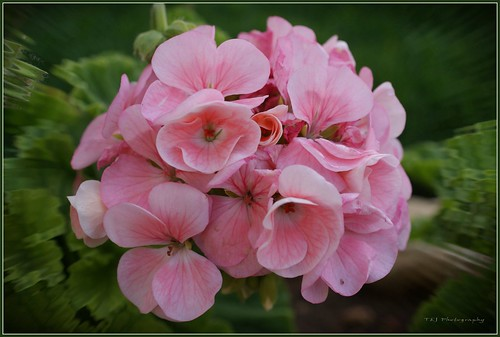 Verigated Geranium