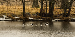 Wet start (A.Sundell) Tags: lake bird nature rain weather birds animal prime duck pentax sweden natur swedish 300mm da raindrops birdsinflight sverige vatten f4 anka bif fglar sj djur fgel vstmanland surahammar naturfoto weathersealing framns naturphoto da300mm pentaxda300mmf4 pentaxda3004 pentaxk5
