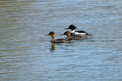 Red-breasted Merganser (two females and a male) (Lew Ulrey) Tags: urban idaho april redbreastedmerganser mergusserrator 2013 ebird