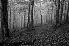 Los Colores del Otoo en Covaleda (Historia de Covaleda) Tags: espaa spain fiesta paisaje douro pinos soria historia pinar tradicion duero covaleda