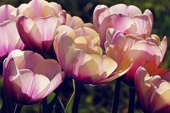 dreamlike spring, happy weekend! (sabrina. G) Tags: licht april makro garten frhling tulpen traumhaft mas