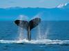 一隻用尾巴拍打海面的座頭鯨。 (mama1672) Tags: 海洋 範例 野生生物