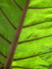 Chicago, Leaf Detail (in Explore, 4/19/13 #11) (lalobamfw (thanks for 600,000+ views)) Tags: brown plant chicago green nature leaf flora foliage veins coth coth5