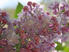 nice lilac... (Lyubov) Tags: flowers spring lilac fantasticflower
