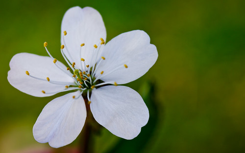 Flower of wild cherry.