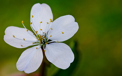 Flower of wild cherry. (alexandre carrard) Tags: wild flower macro nature cherry bokeh flaura merisier hairygitselite