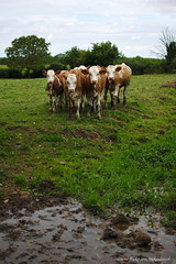On se serre pour la photo (Mikael Nicol) Tags: campagne classe vache vaches pr veau paturage bovin bovins levage veaux