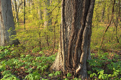 Matson's Woods (1) (Nicholas_T) Tags: trees plants nature forest spring pennsylvania creativecommons vegetation deciduous lehighvalley undergrowth spicebush mayapples oldgrowthforest understory northamptoncounty louisewmoorepark louisewmoorecountypark relictforest temperatedeciduousforest matsonswoods