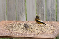 Evening Grosbeak (male) (J R Webb) Tags: birds grosbeak