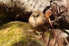 Winter Wren (Sandra_Gilchrist) Tags: winter ontario bird song whitby wren thicksonwoods whitbyon thicksonwood