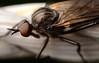 Dansvlieg/Daggerfly (stormchaseroosteeklo) Tags: macro closeup profile robberfly facets facetten profiel roofvlieg me2youphotographylevel2 me2youphotographylevel1
