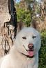 Salt (Gertrude139) Tags: dog white husky siberianhusky sibe bieyed